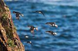 Papageientaucher, Neufundland, Bonavista-Halbinsel