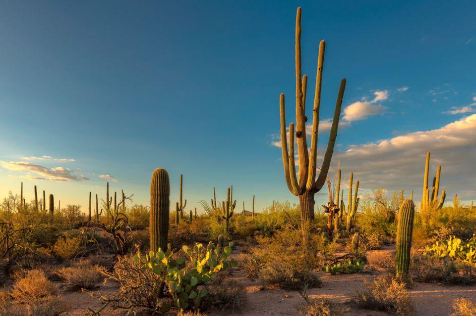 Saguaro-Kakteen