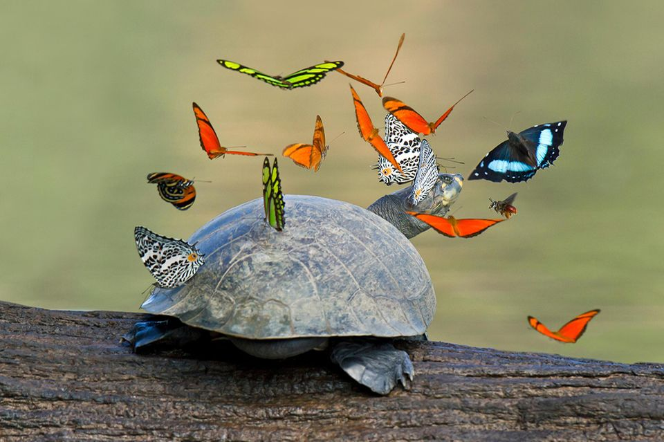 Foto: mauritius images / GFC Collection / Alamy, Schmetterlinge und Schildkröte