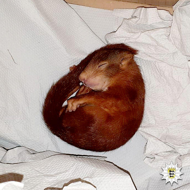 Eichörnchen Pippilotta