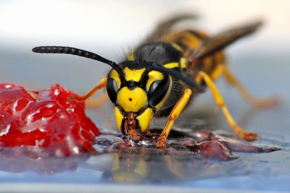 Wespe beim Fressen