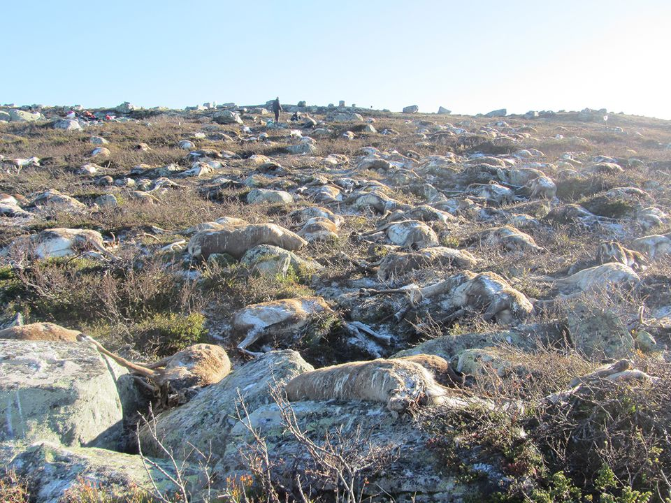 Tote Rentiere - Hardangervidda National Park