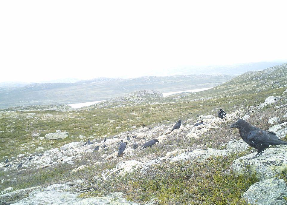 Rentiersterben, Hardangervidda National Park