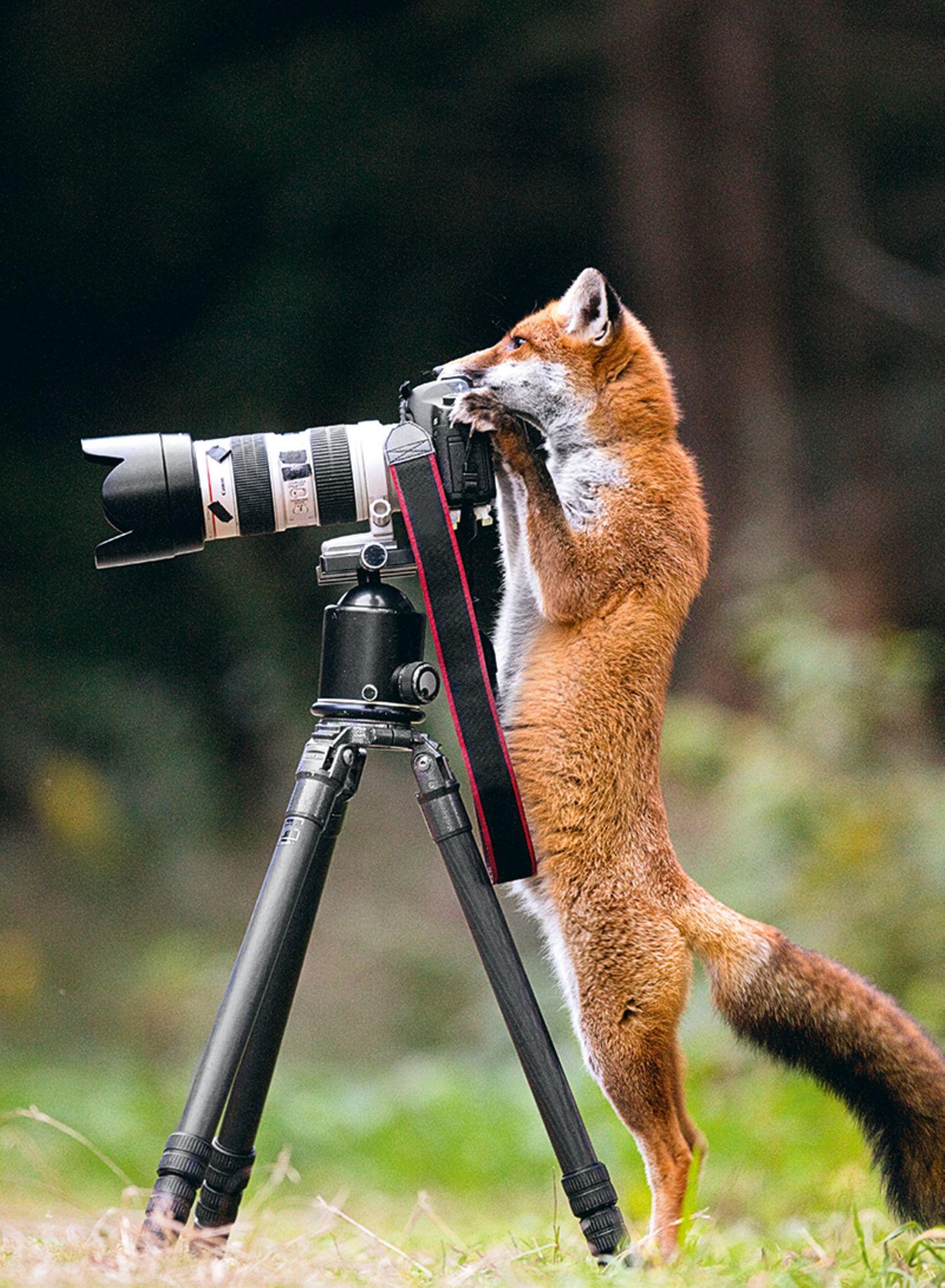 Fuchs an der Kamera