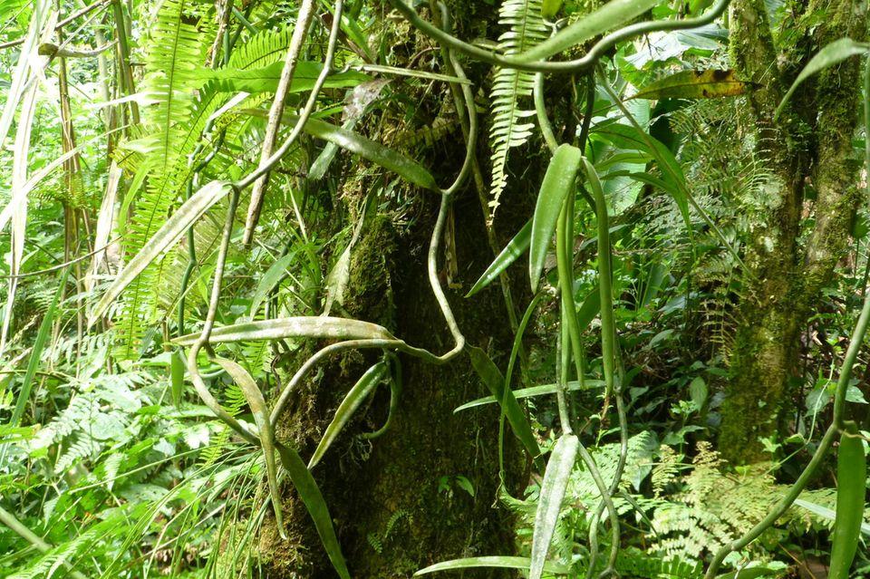 Ecuador: Waldschutz durch Vanille am Río Napo