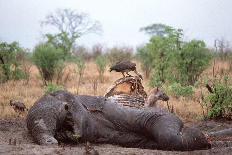 Botswana: Gewilderter Afrikanischer Elefant