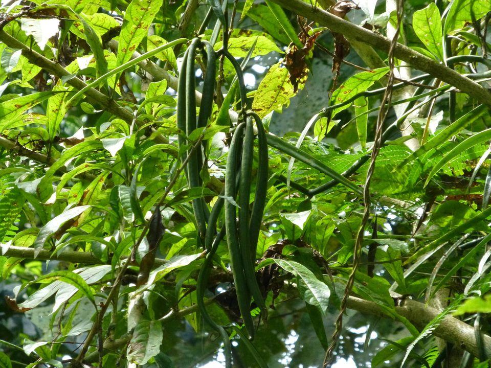 Ecuador: In vielen Chakras nutzen die Vanillepflanzen Bäume als Kletterhilfe. Oft kann man die Vanille in der Pflanzenvielfalt erst erkennen, wenn sich Schoten gebildet haben