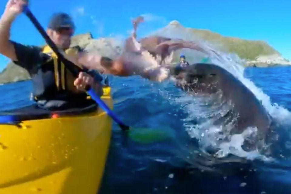Robbe ohrfeigt Kajakfahrer mit Oktopus