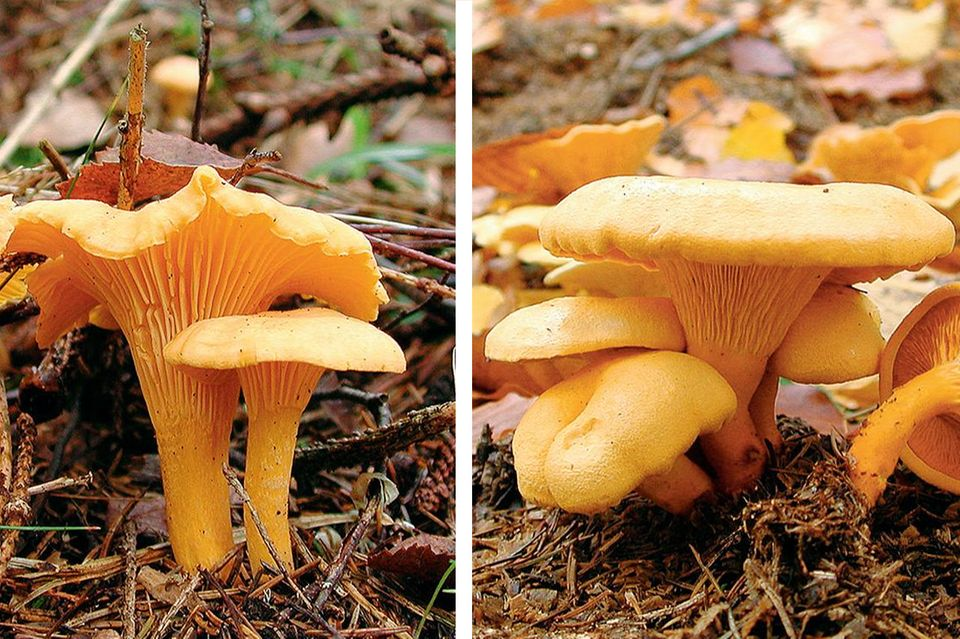 Pilze und ihre Doppelgänger