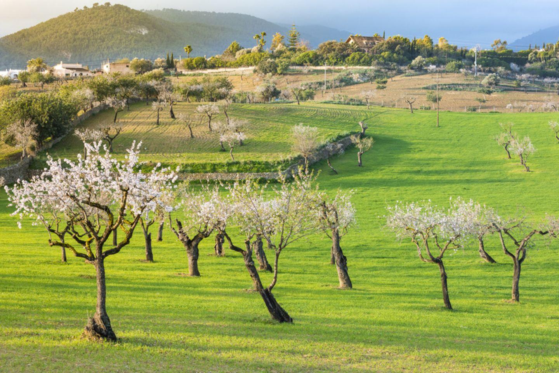 Mallorca, Mandelblüte