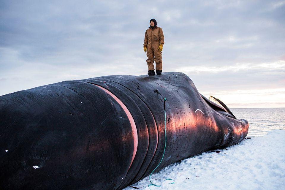 Rund 50 Tonnen wiegt dieser Wal.