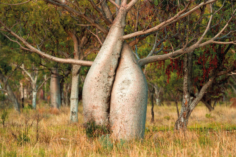 Boabs (Adansonia gregorii)