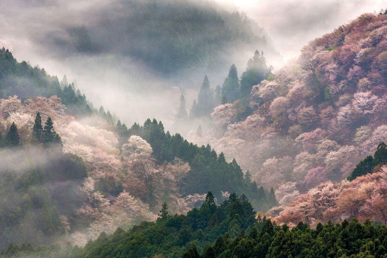 Kirschbäume (Prunus sp.) in voller Blüte auf den Yoshinobergen, Nara, Japan
