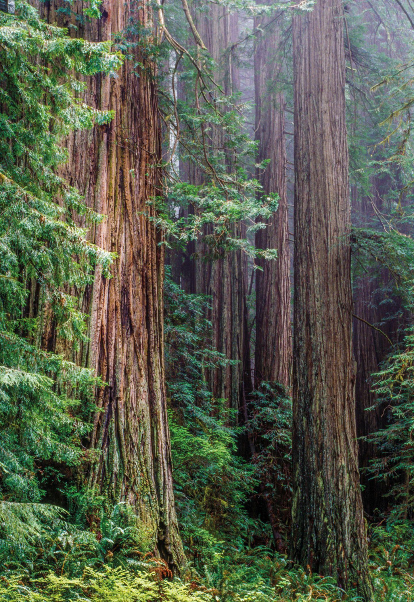 Küstenmammutbäume (Sequoia sempervirens), Redwood National Park, Kalifornien, USA