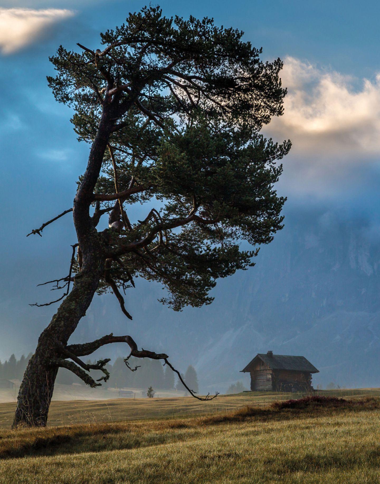 Eine Gemeine Fichte (Picea abies), gebeugt vom kalten Wind in den Dolomiten, Italien