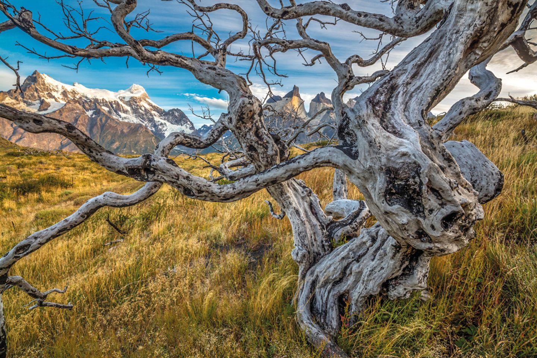 Verdrehte und verbrannte Buchenstümpfe (Nothofagus sp.) vor dem Paine-Massiv, Torres-del-Paine-Nationalpark, Chile