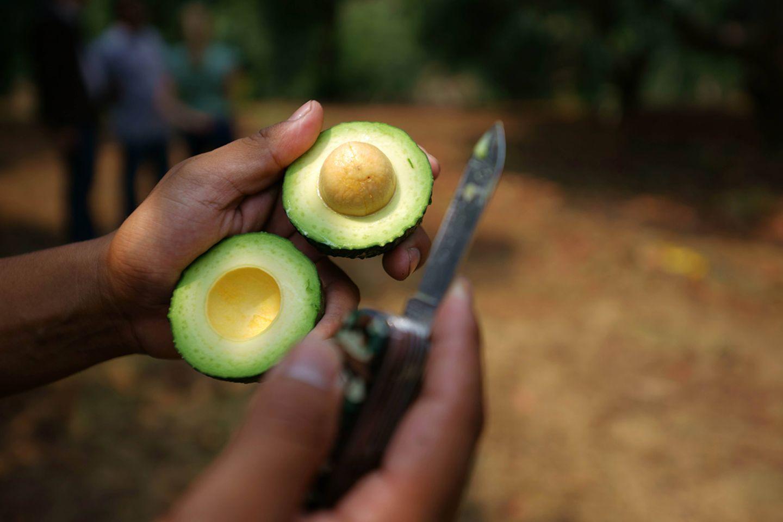 Avocado-Ernte im mexikanischen Bundesstaat Michoacán