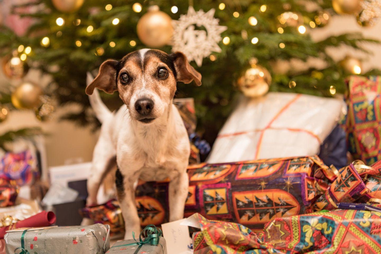 Jack Russell Terrier unter dem Weihnachtsbaum