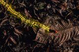Glühwürmchenlarve