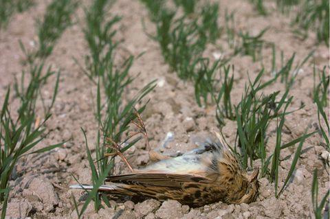 Tote Feldlerche auf einem Acker