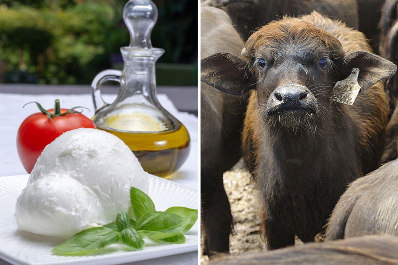 Büffelmozzarella, junger Büffel
