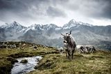 Tiroler Grauvieh, Osttirol, Österreich