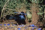 Seidenlaubvögel