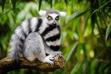 Lemur, Affe