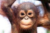 Baby-Orang-Utan, Borneo