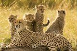 Gepardenfamilie, Maasai Mara, Kenia