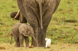 Elefant mit ihrem Baby, Amboseli National Park, Kenia