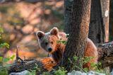 Wilder Bär, Slowenien