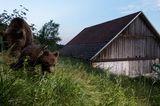Wilde Bären, Slowenien