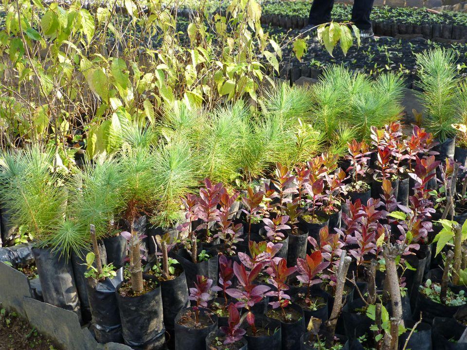 Die Projektbaumschule in Simle, Nilkantha, produziert zahlreiche heimische Baumarten