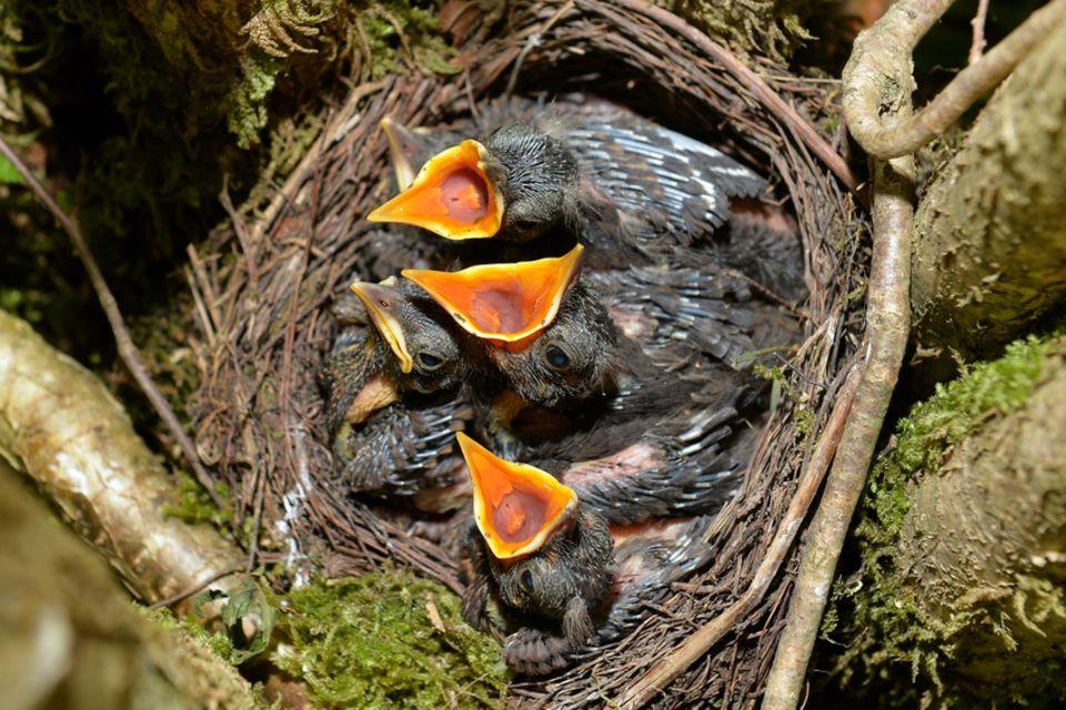 Junge Amseln im Nest