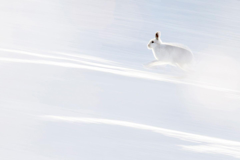 Hermann Hirsch - Weißer Blitz, Schneehase, Schottland