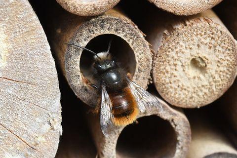 Wildbiene an einem Insektenhotel