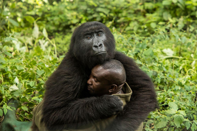 Gorilla umarmt Mensch