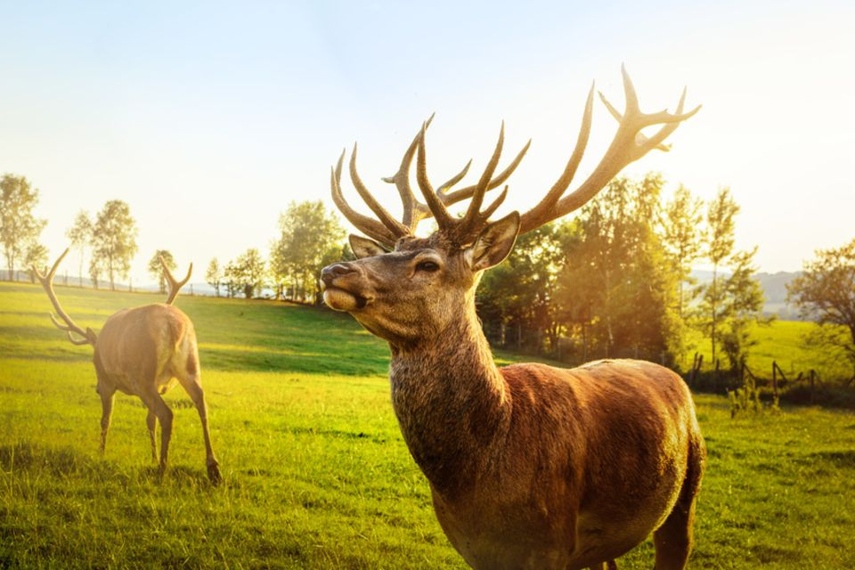 Hirsche im Wildpark