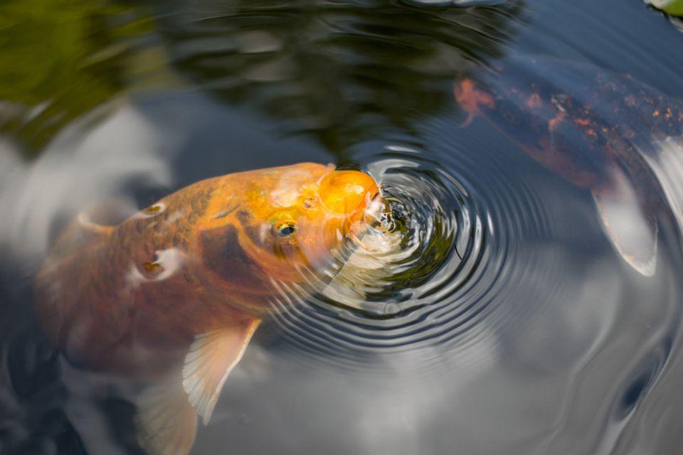 Fisch an Wasseroberfläche