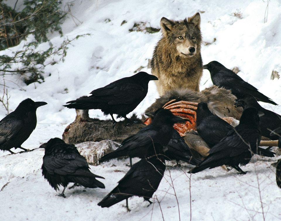 Wolf und Kolkrabe