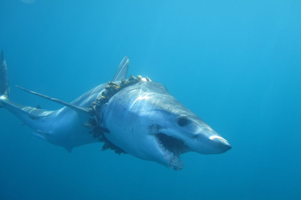 Makohai, gefangen in Plastikmüll