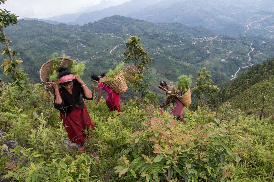 Frauen tragen die angelieferten Setzlinge in Körben den steilen Hang hinauf