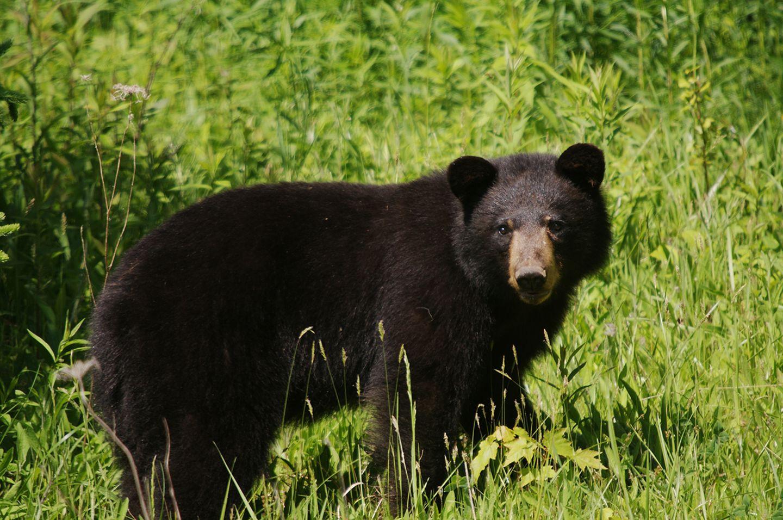 Schwarzbär