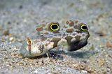 Die tropische Krabbenaugengrundel