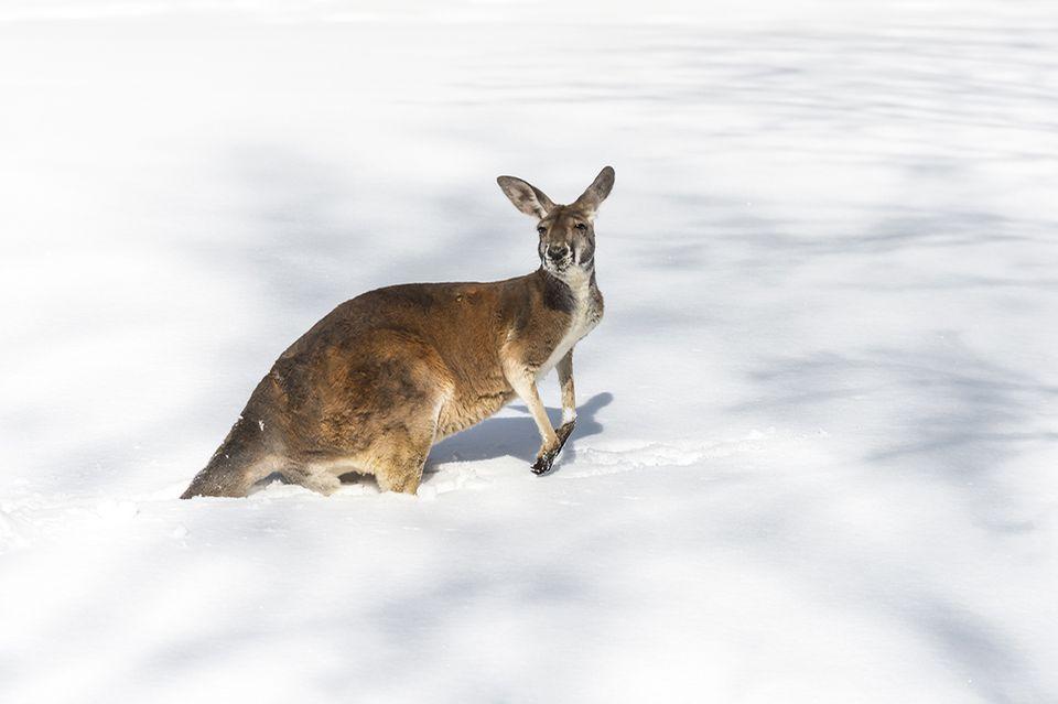 Känguru im Schnee