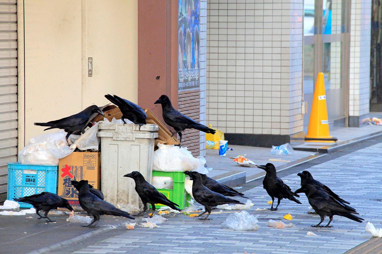 Krähen wühlen im Müll