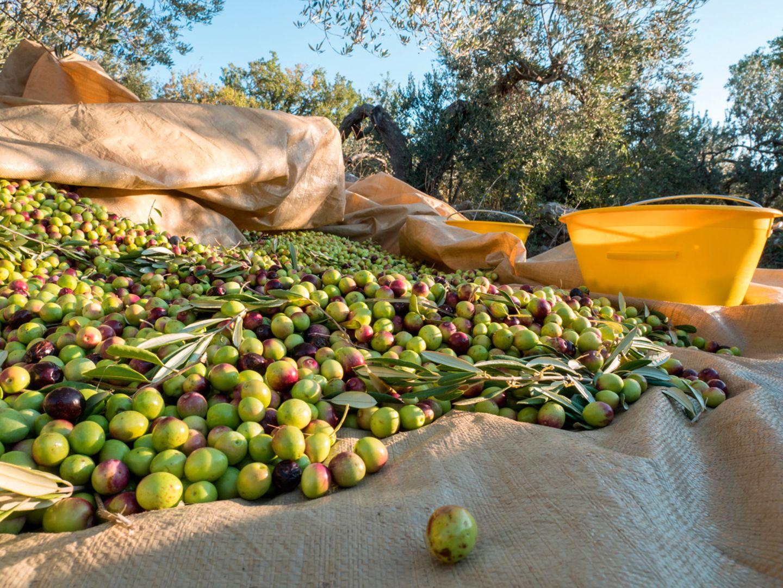 Olivenernte, Kroatien