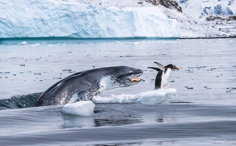Jagd auf einen Pinguin