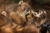 Ein Gepard wird von einem Rudel afrikanischer Wildhunde angegriffen